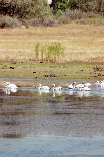 Pelicans take a dip in the peaceful waters of Bass Lake.