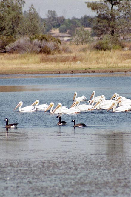 Pelicans and Canada Geese share the waters of beautiful Bass Lake.