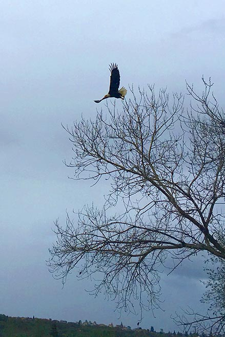 A bald eagle soars above the waters of beautiful Bass Lake.